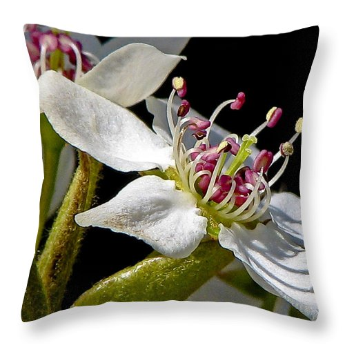 Flower Throw Pillow featuring the photograph Apple Blossem In Sunlight by Ches Black