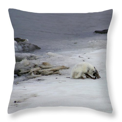 Arctic Fox Throw Pillow featuring the photograph Arctic Fox Eating by Anthony Jones