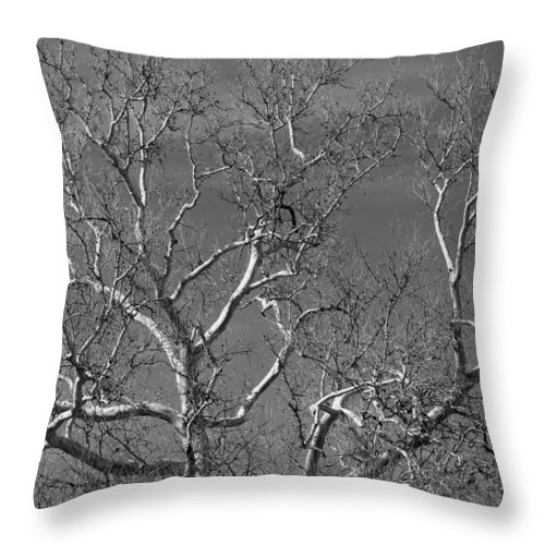 Tree Throw Pillow featuring the photograph Arizona Sycamore Tree Filtered 022714 by Edward Dobosh