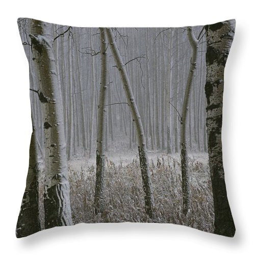 Plants Throw Pillow featuring the photograph Aspen Stand In A Snowstorm by Raymond Gehman