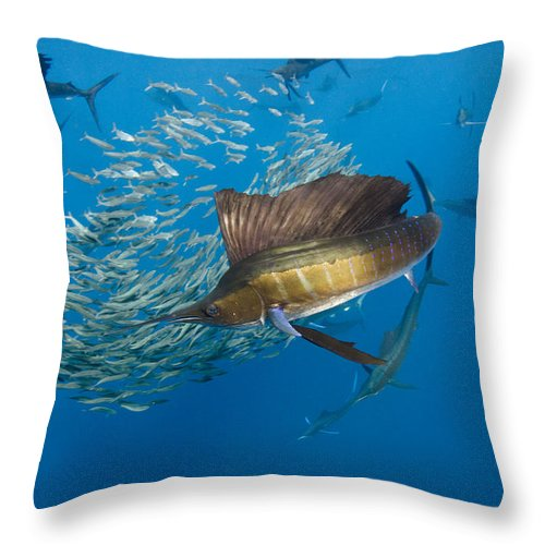 00456229 Throw Pillow featuring the photograph Atlantic Sailfish Hunting by Pete Oxford