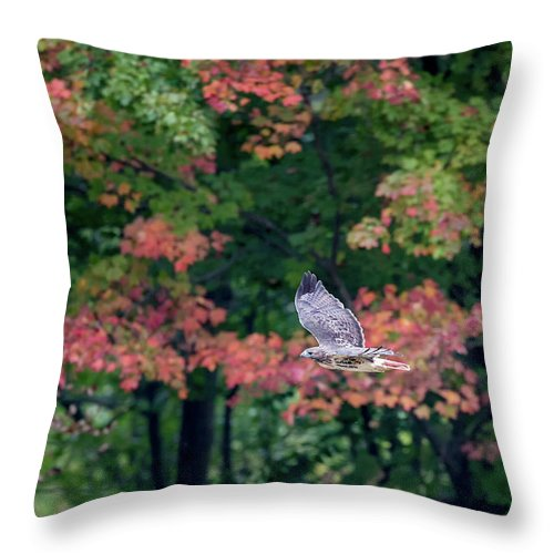 Redtail Hawk Throw Pillow featuring the photograph Autumn Hawk by Bill Wakeley