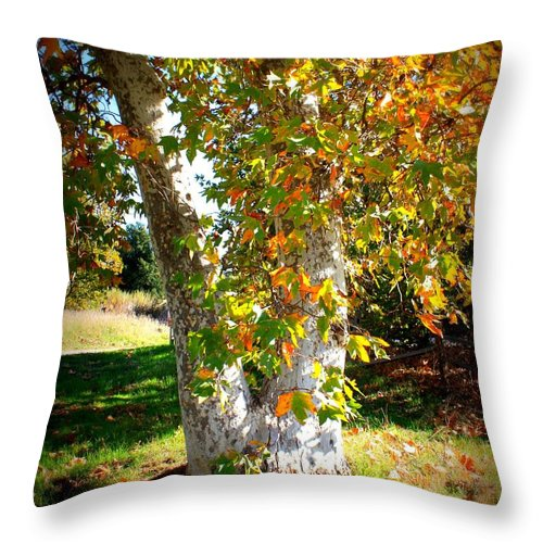 Autumn Tree Throw Pillow featuring the photograph Autumn Sycamore Tree by Carol Groenen