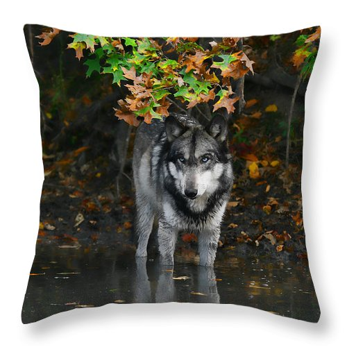 Wolf Wolves Lupine Canis Lupus Wildlife Animal Photography Photograph Throw Pillow featuring the photograph Autumn Wolf by Shari Jardina