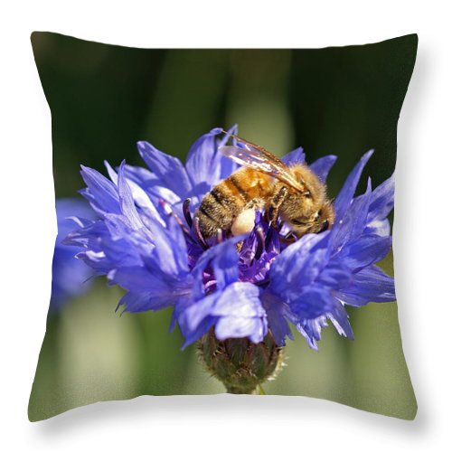 Bee. Flower Throw Pillow featuring the photograph Bachelor Button And Bee by Heather Coen