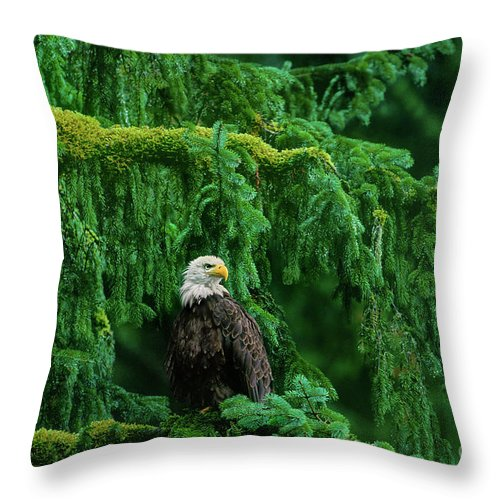 Bald Eagle Throw Pillow featuring the photograph Bald Eagle In Temperate Rainforest Alaska Endangered Species by Dave Welling