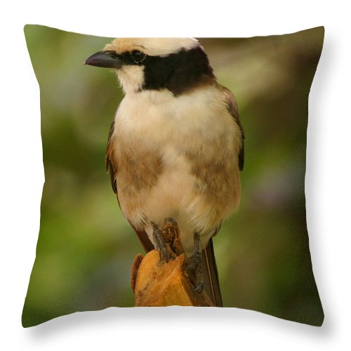 Wiever Throw Pillow featuring the photograph Banded Wiever Tanzania by Joseph G Holland