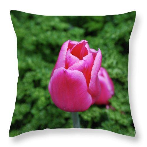 Tulip Throw Pillow featuring the photograph Beautiful Dark Pink Tulip Flower Blossom In A Garden by DejaVu Designs