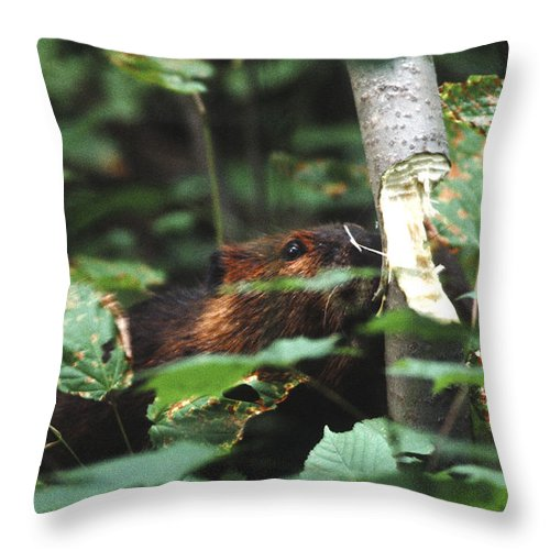 Wildlife Throw Pillow featuring the photograph Beaver And Poplar Tree by Steve Somerville