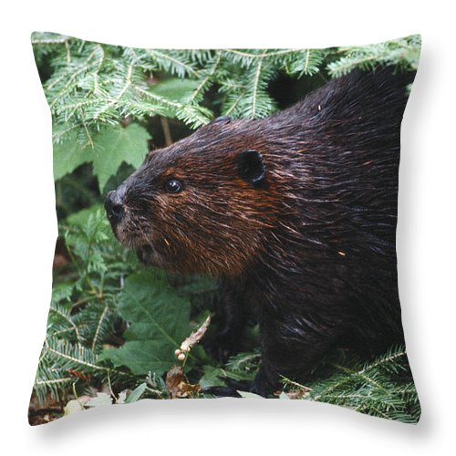 Beaver Throw Pillow featuring the photograph Beaver In Forest by Steve Somerville