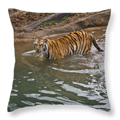 Bengal Throw Pillow featuring the photograph Bengal Tiger Wading Stream by Douglas Barnett