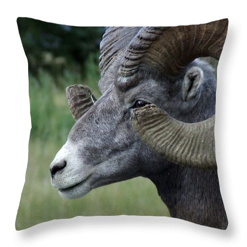 Big Horned Ram Throw Pillow featuring the photograph BIGHorned Ram by Tiffany Vest