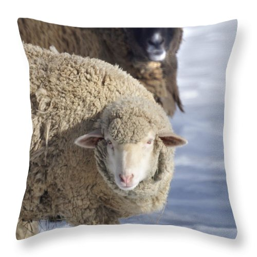 Sheep Throw Pillow featuring the photograph Black And White by Heather Coen