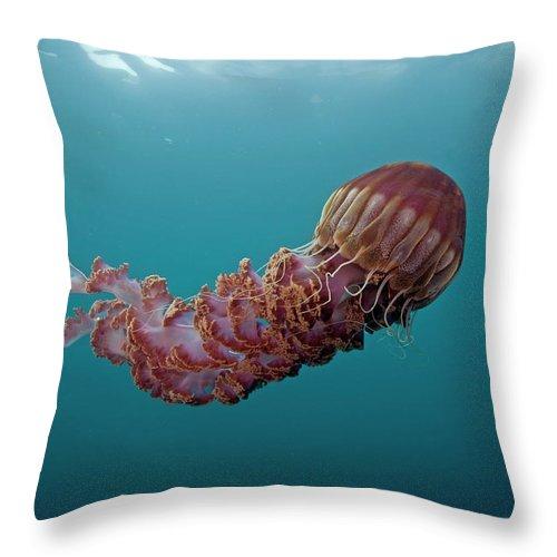 Mp Throw Pillow featuring the photograph Black Sea Nettle Chrysaora Achlyos by Richard Herrmann