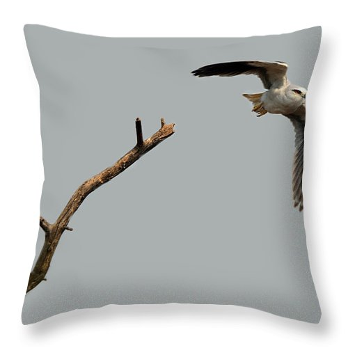 Kite Throw Pillow featuring the photograph Black-winged Kite by Manjot Singh Sachdeva