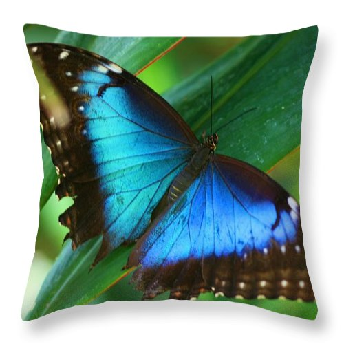 Butterfly Throw Pillow featuring the photograph Blue Morpho Butterfly by Kristina Jones