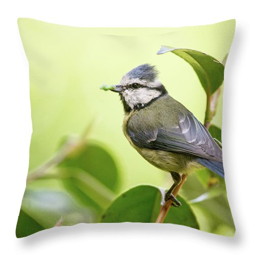 Blue Tit Throw Pillow featuring the photograph Blue Tit With Caterpillar by Alan Grant