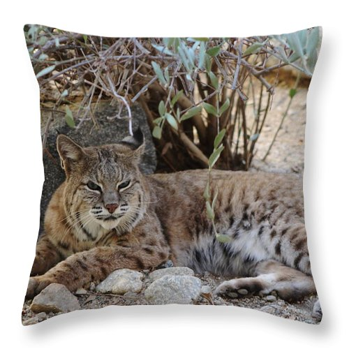 Bobcat Throw Pillow featuring the photograph Bobcat Resting by Colleen Cornelius