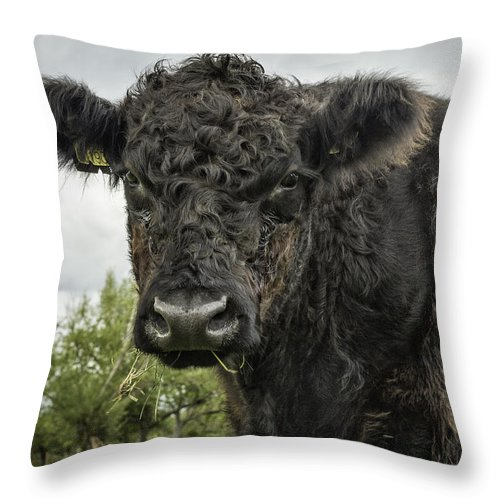 Black And White Cattle Throw Pillow featuring the photograph Bovine Beauty 2 by Wendy Chapman