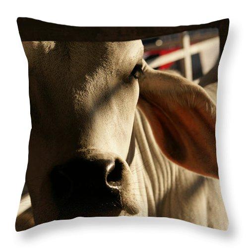 Brahma Bull Throw Pillow featuring the photograph Brahma Love by Linda Shafer