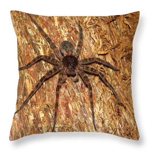 Maryland Brown Fishing Spider Images Spiders Of Maryland Images Brown Fishing Spider Prints Big Brown Spider Images Brown Fishing Spider Photograph Pictures Giant Brown Spider Hunting Spider Images Entomology Brown Arachnid Images Nature Forest Ecosystem Biodiversity Life Preditor Throw Pillow featuring the photograph Brown Fishing Spider by Joshua Bales