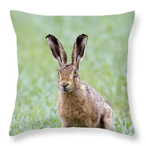 Brown Hare Throw Pillow featuring the photograph Brown Hare by Bob Kemp