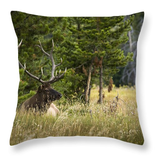 Elk Throw Pillow featuring the photograph Bull Elk by Chad Davis