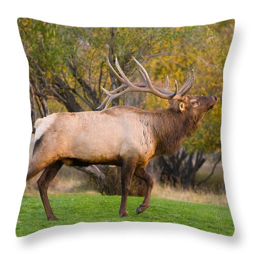 Autumn Throw Pillow featuring the photograph Bull Elk In Rutting Season by James BO Insogna