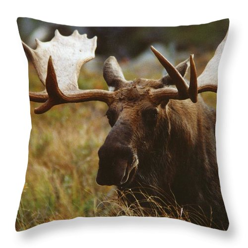 Wildlife Throw Pillow featuring the photograph Bull Moose Up Close by John Burk