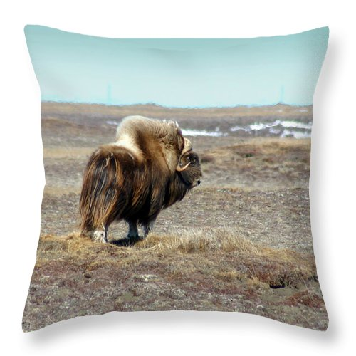 Bull Throw Pillow featuring the photograph Bull Musk Ox by Anthony Jones