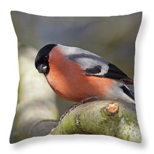 Birds Throw Pillow featuring the photograph Bullfinch by Bob Kemp