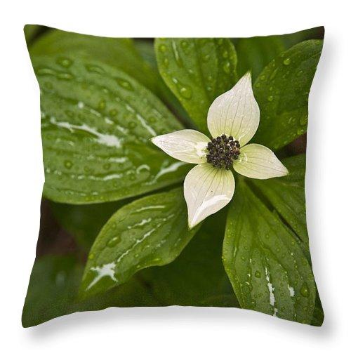 Chad Davis Throw Pillow featuring the photograph Bunchberry Cornus Canadensis by Chad Davis