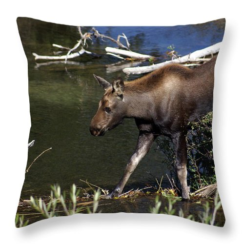 Grand Teton National Park Throw Pillow featuring the photograph Calf Moose by Marty Koch