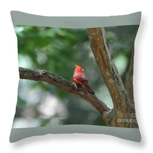 Cardinal Throw Pillow featuring the photograph Cardinal In Tree by Carol Groenen