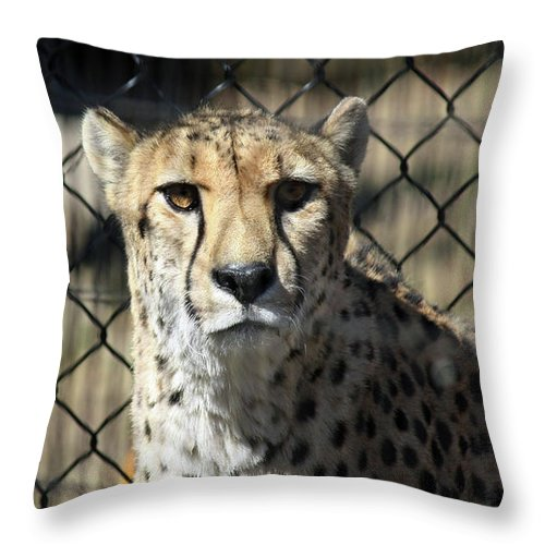 Maryland Throw Pillow featuring the photograph Cheetah Alert by Ronald Reid