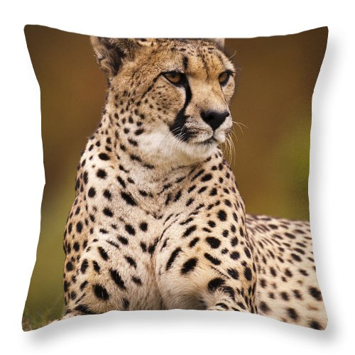Cheetah Throw Pillow featuring the photograph Cheetah Beauty by Chad Davis