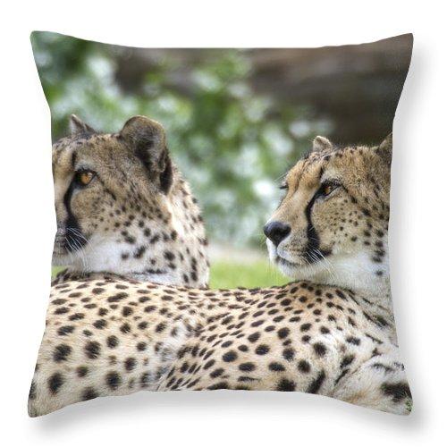 Cheetahs Throw Pillow featuring the photograph Two Cheetahs by Carolyn Fox