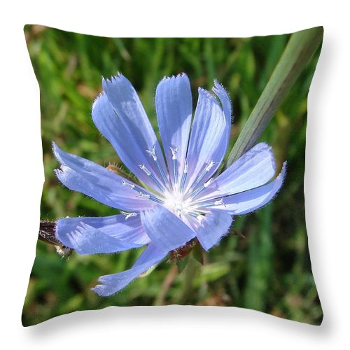 Blue Flower Green Throw Pillow featuring the photograph Chicory by Luciana Seymour