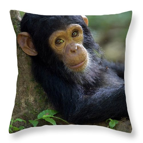 Mp Throw Pillow featuring the photograph Chimpanzee Pan Troglodytes Baby Leaning by Ingo Arndt