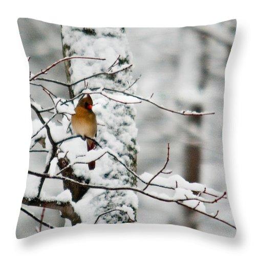 Cardinal Throw Pillow featuring the photograph Classic Cardinal In Snow by Douglas Barnett