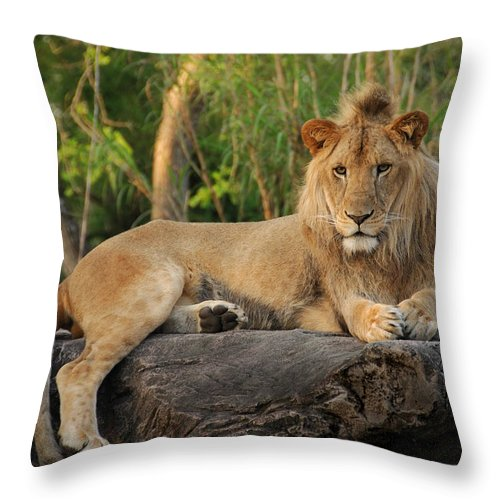 Lion Throw Pillow featuring the photograph Classic Young Male by Steven Sparks