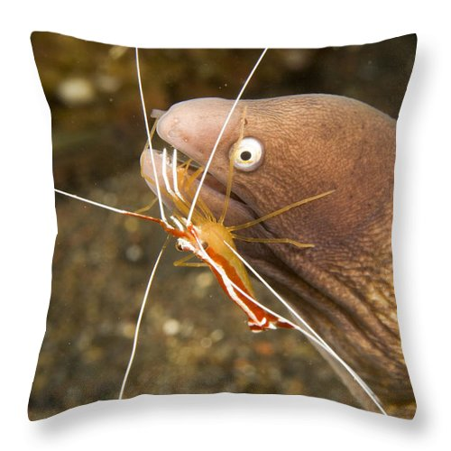 Cleaner Shrimp Throw Pillow featuring the photograph Cleaner Shirmp Cleans Parasites by Tim Laman