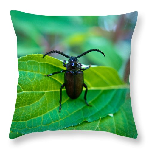 Coleoptera Throw Pillow featuring the photograph Climbing Beetle by Douglas Barnett