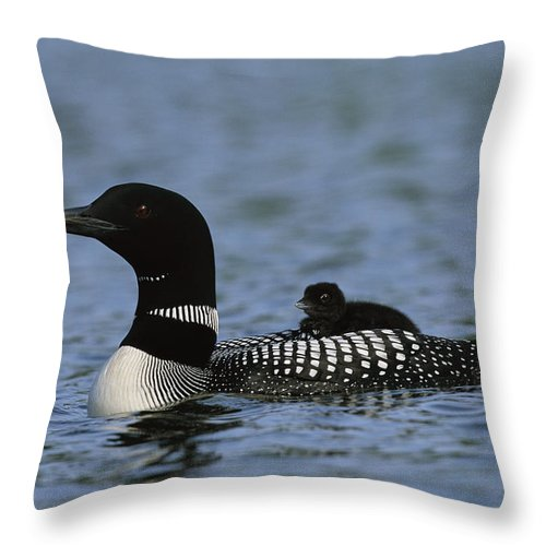 North America Throw Pillow featuring the photograph Common Loon Gavia Immer, With Baby by Roy Toft