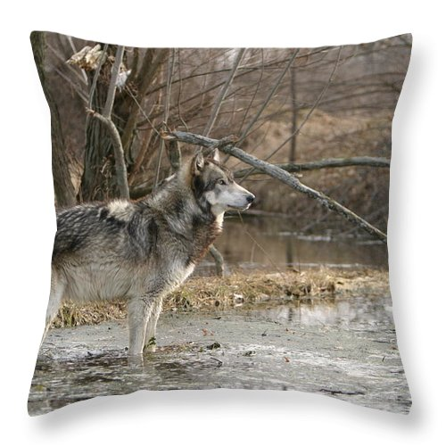 Wolf Canid Canus Lupis Wildlife Wild Animal Mammal Gray Grey Timberwolf Photograph Photography Digital Art Throw Pillow featuring the photograph Concentration by Shari Jardina