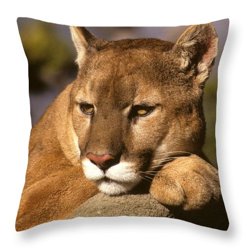 Wildlife Throw Pillow featuring the photograph Cougar Contemplating by Larry Allan