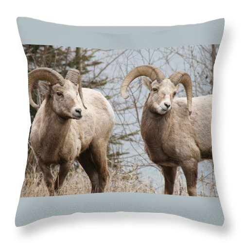 Bighorn Sheep Throw Pillow featuring the photograph Couple Of Rams- Banff National Park by Tiffany Vest
