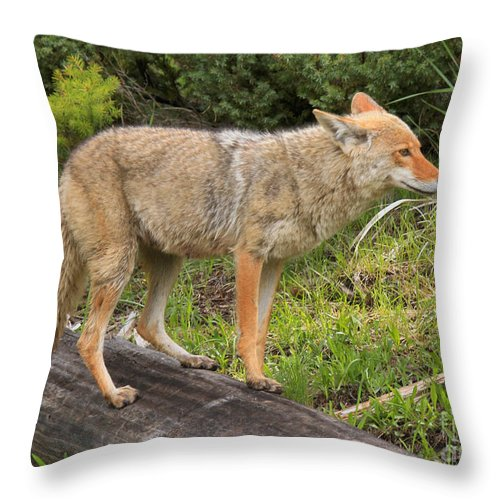 Yellowstone Coyote Throw Pillow featuring the photograph Coyote On A Log Closeup by Adam Jewell