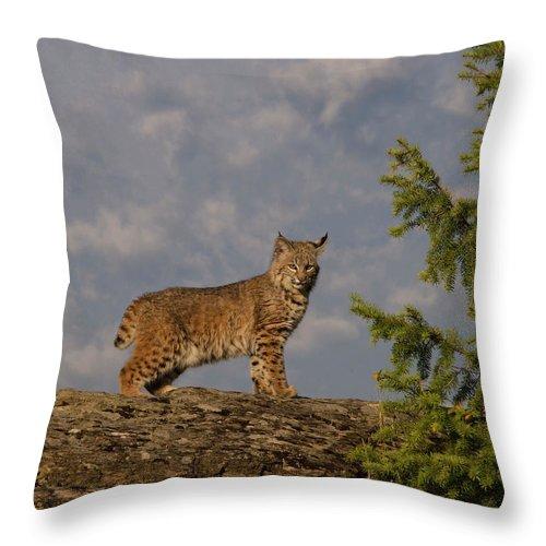 Bobcat Throw Pillow featuring the photograph Curious bobcat by Roy Nierdieck