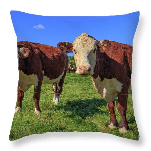 Cows Throw Pillow featuring the photograph Cattle Andover New Hampshire by Edward Fielding